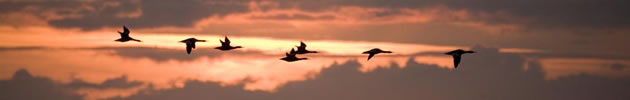 mergansers flying through sunset against Kintyre